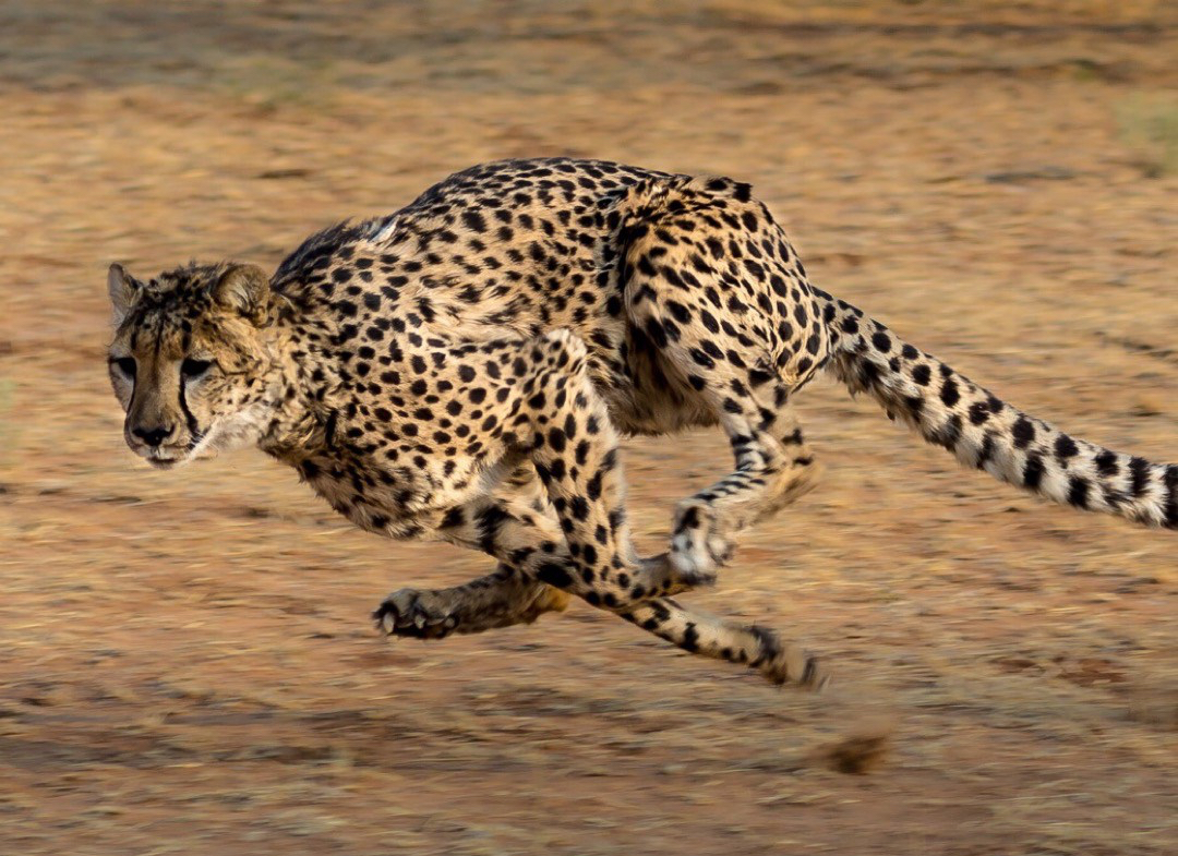 WE'VE GOT TO SAVE THE CHEETAHS!!! … and then the rest of the world…